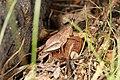Acrididae sp. (37540510700).jpg