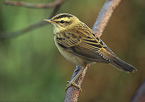 Advertising in biology - Sedge warbler males advertise their fitness by the variety of their song repertoire.