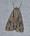 Acronicta hasta - Speared Dagger Moth (14238825471).jpg