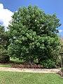 Adansonia digitata— tree in Mounts Botanical Garden 03.jpg