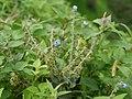 Adelocaryum malabaricum (C.B.Clarke) Brand (4954626798).jpg