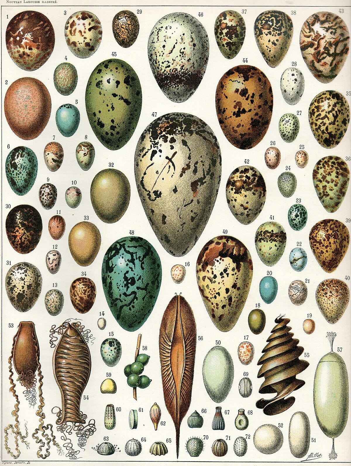 Egg Wikipedia