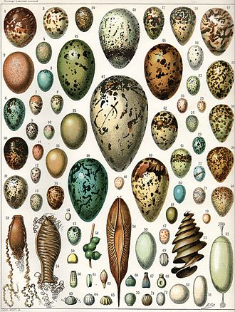 Egg - Eggs of various birds, a reptile, various cartilaginous fish, a cuttlefish and various butterflies and moths. (Click on image for key)