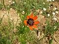 Adonis aestivalis inflorescence (11).jpg