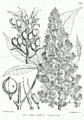 Aesculus indica Bra19.png