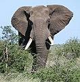 African Elephant (Loxodonta africana) bull ... (46166594994).jpg