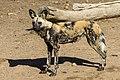 African Wild Dog (42667556721).jpg