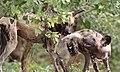 African painted dog, or African wild dog, Lycaon pictus at Savuti, Chobe National Park, Botswana. (32658576576).jpg