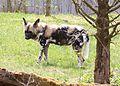 Afrikanischer Wildhund Lycaon pictus Tierpark Hellabrunn-2.jpg