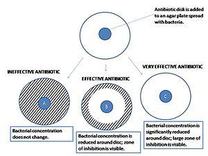 Agar diffusion test - A close-up look at the results of an agar diffusion test.