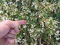 Ageratina riparia flowerheads2 (11508589676).jpg