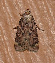 Aglossa cuprina - Grease Moth (14836194860).jpg