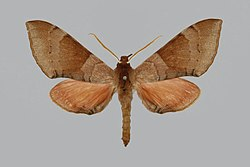 Agnosia orneus, male, upperside. India, Dehra Dun.jpg