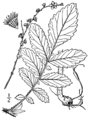 Agrimonia pubescens drawing.png