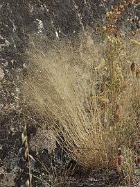 Agrostis truncatula 20110714a.jpg