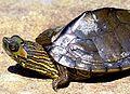 Alabama Map Turtle.jpg