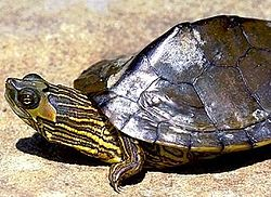 Alabama Map Turtle.jpg