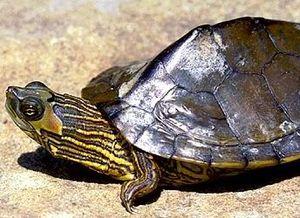 Alabama map turtle - Alabama map turtle basking on a rock