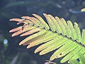 Albizia chinensis - Chinese Albizia young leaves at Periya 2018 (3).jpg