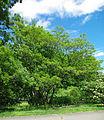 Albizia julibrissin tree.jpg