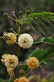 Albizia odoratissima19.jpg