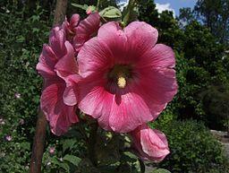 Alcea rosea 1-OB9