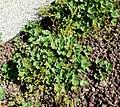 Alchemilla acutiloba plant (04).jpg