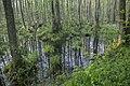 Alder carr 09(js), Biebrza National Park (Poland).jpg