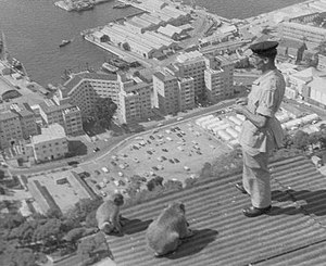 Barbary macaques in Gibraltar - Sgt. Alfred Holmes alongside two Barbary macaques, looking down on the city of Gibraltar.