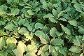 Alleghany Pachysandra Pachysandra procumbens Plants 3008px.JPG