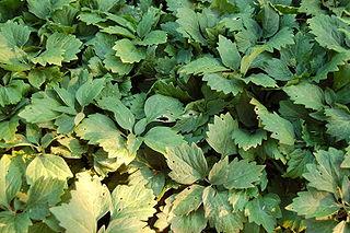 <i>Pachysandra procumbens</i> Species of flowering plant