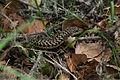 Alligator Lizard (Elgaria coerulea) (3427292877).jpg