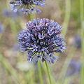 Allium caeruleum-IMG 4311.jpg