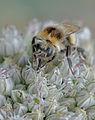 Allium porrum Bombus lucorum, prei kleine aardhommel (10).jpg
