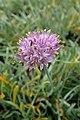 Allium senescens subsp glaucum kz1.jpg