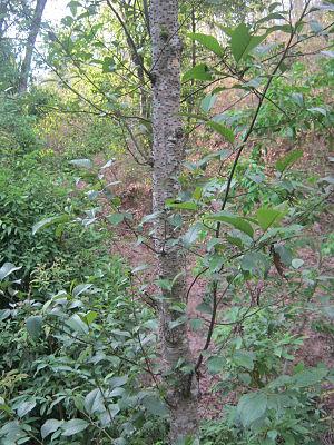 Alnus nepalensis - Stem of Alnus nepalensis