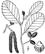 Alnus incana rugosa drawing.png