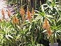 Aloe Arborescens - Kirstenbosch.jpg