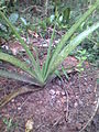 Aloe Vera (red) from Kerala, India - 20110410.jpg
