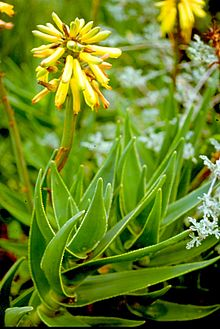 Aloe commixta - Peninsula Rambling Aloe of Table Mountain SA.jpg