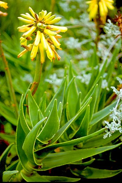 File:Aloe commixta - Peninsula Rambling Aloe of Table Mountain SA.jpg