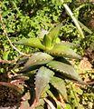 Aloe pearsonii seedling - SA.jpg