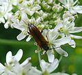 Alosterna tabacicolor . Cerambycidae - Flickr - gailhampshire.jpg