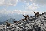 Alpensteinböcke, Capra ibex auf der Sulzfluh 4.JPG