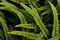 Alpine water fern. (11759199253).jpg