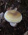 Amanita gemmata 12945779.jpg