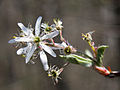 Amelanchier arborea sarvis close 4×3.jpg