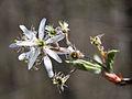 Amelanchier arborea sarvis close 4×3.jpg
