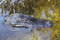 American Alligator Submerged.jpg