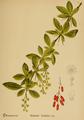 American Medicinal Plants-015-0095.png